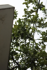 pohon jeruk depan rumah siluet jingga
